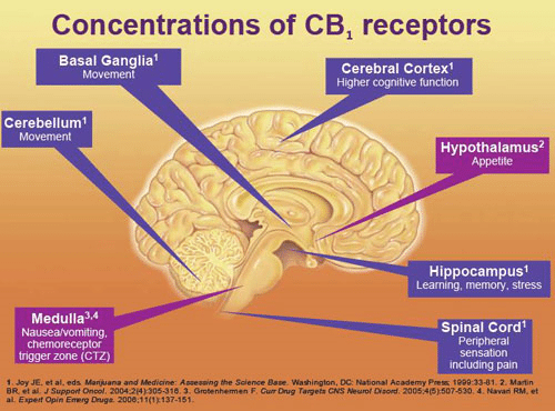Cannabinoid Receptors in the brain - CBD receptors